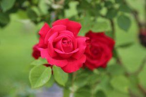 Photo d'une Rose du Relais de Poste