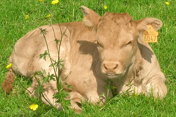 Vache chez Gaec des blondes Viande bovine et porcine
