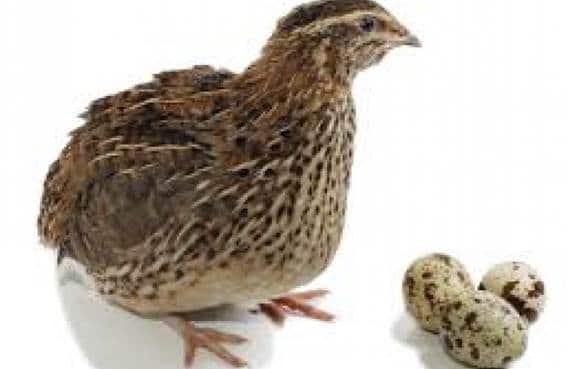 Œufs de Cailles du petit œuf Ardennais cailles fermières et terrines